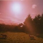 Landscape sheep