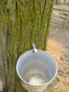 collecting sap from the maple tree...